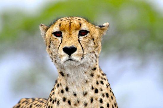 Tydon Bush Camp: Cheetah