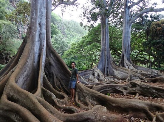 moreton bay fig tree made famous in jurassic park picture of