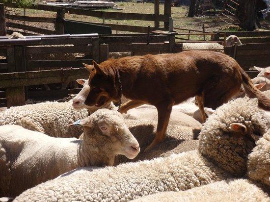 Yallingup Shearing Shed: Farm dog on the sheep