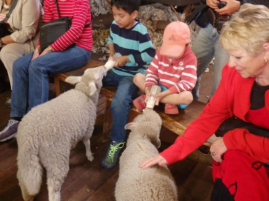 Yallingup Shearing Shed: Milking the lamb.