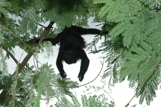 Cala Luna Luxury Boutique Hotel & Villas: Howler monkey on Cala Luna tropical grounds