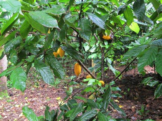 Princeville Botanical Gardens - Tours: cacao