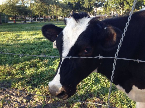 Main Street Miami Lakes: Cows to boot