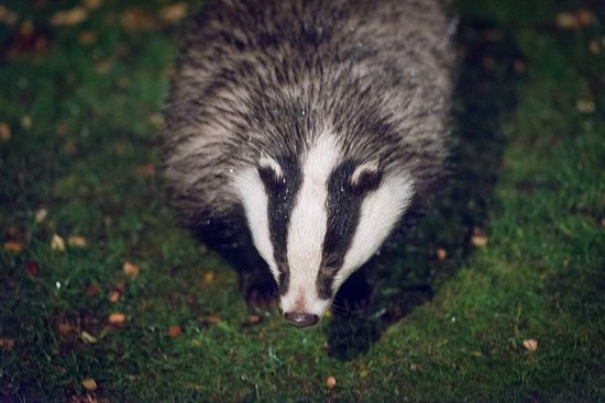 Speyside Wildlife: male badger