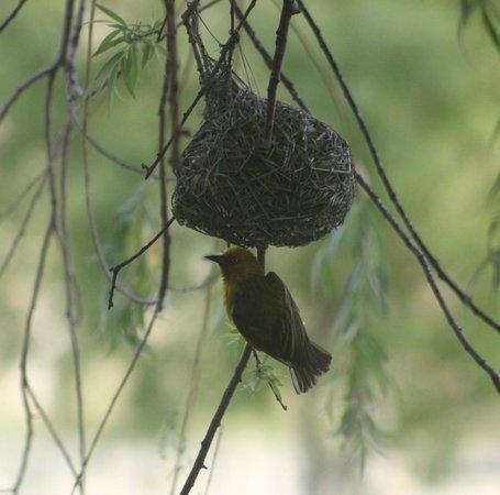 De Doornkraal Historic Country House Boutique Hotel: Little yellow bird building its' nest over the dam - fascinating!