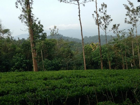 Vythiri Village Resort : Tea Plantation