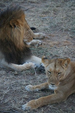 Gamewatchers Adventure Camp, Ol Kinyei: Lions @ Ol Kinyei Conservancy