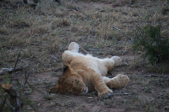 Gamewatchers Adventure Camp, Ol Kinyei : Lion cub @ Ol Kinyei Conservancy