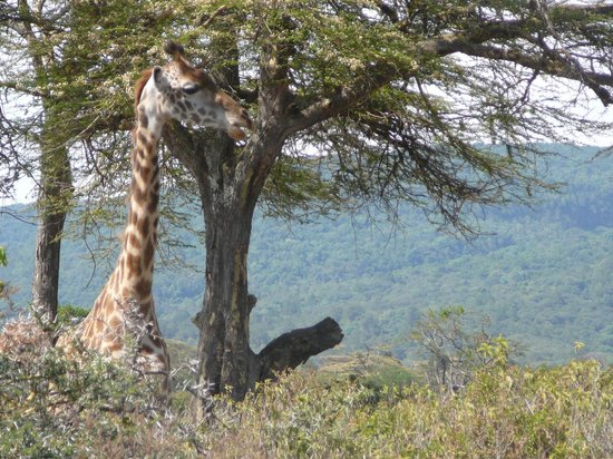 Hatari Lodge : Giraffe in the garden