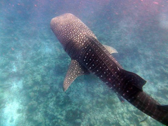 Vilamendhoo Island Resort & Spa: Whale shark