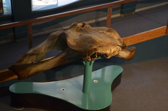 The Whale House Museum: Skeleton