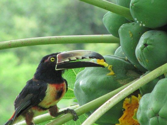 Casa Frangipani : Un tucán comiendo papaya