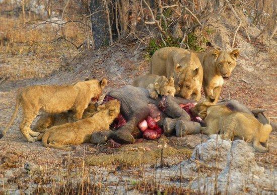 Image gallery leones cazando elefantes - Fotos de elefantes bebes ...