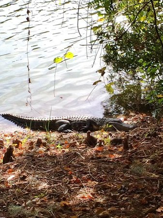 Sea Pines Forest Preserve: GATOR!