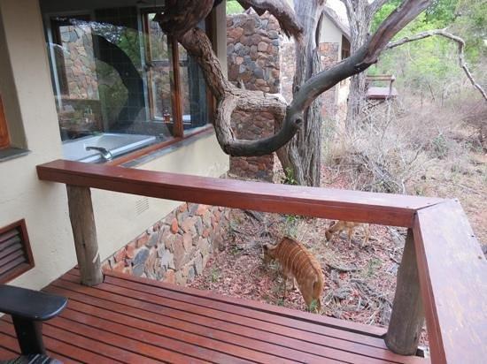 Thornybush Game Lodge : Cottage visitors, nyala