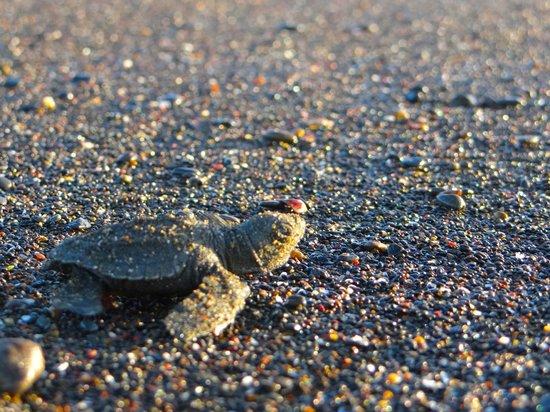 Albergue Arribadas : Nacimiento de Tortuga Lora