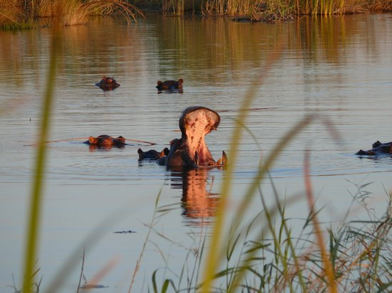 Mamili National Park: Hippo in backwater