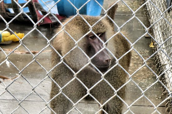 Suncoast Primate Sanctuary Foundation, Inc.: resident you can feed