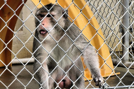 Suncoast Primate Sanctuary Foundation, Inc.: resident loves fisher price furniture got any