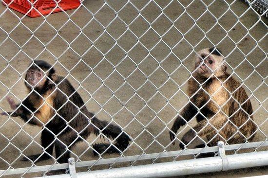 Suncoast Primate Sanctuary Foundation, Inc.: come watch me play