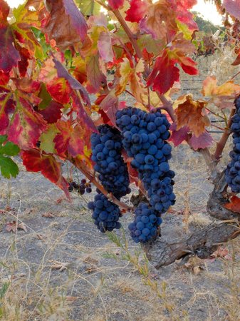 Chanticleer Vineyard Bed and Breakfast: Grapes on the vine