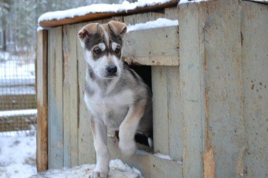 Saariselka Inn : Wild Spirit Park husky pups