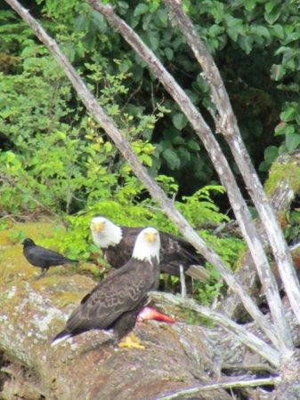 Experience Alaska Tours: Two eagles eating a salmon on a fallen tree beneath their nest.