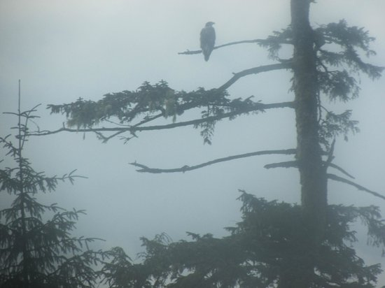 Experience Alaska Tours: A young eagle seen from our tour bus.