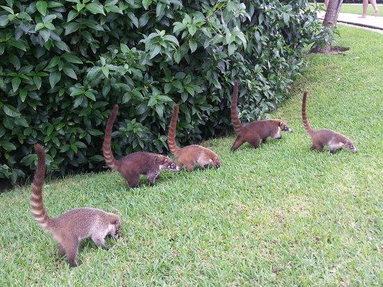 iguana fight grand bahia principe tulum resort mexico ... |Grand Bahia Principe Tulum Animals