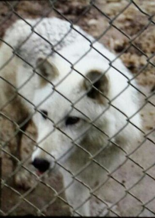 Cocolalla, ID: 2.5 year old female wolf mix.