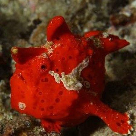 Freedom Divers Phuket: Frogfish
