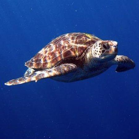 Freedom Divers Phuket: Turtle