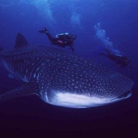 Freedom Divers Phuket: Whale Shark