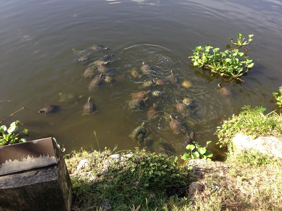 Turtle attack - Picture of Couples Sans Souci, Ocho Rios