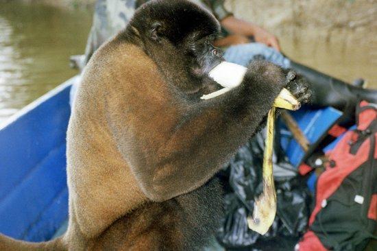 """Amazonia Expeditions' Tahuayo Lodge: """"Ohhh Boy!!! Dorilla ia having her fill!"""""""