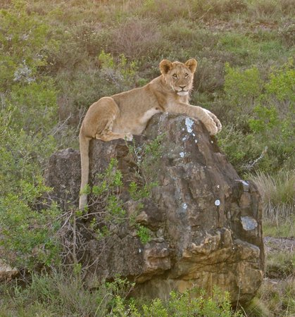Kariega Game Reserve: lion cub