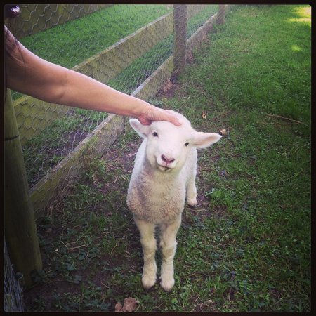 Dylans Country Cottages: Lily the lamb