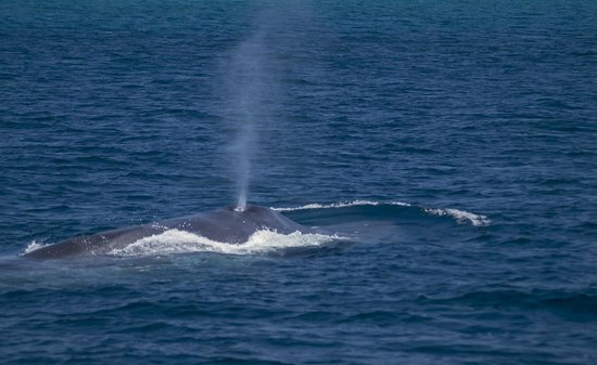 Naturaliste Charters: Blue whale blowing