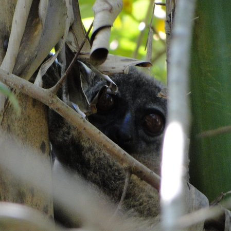 """Lokobe Nature Special Reserve: a tiny """"Gray Mouse Lemur"""" in the forest"""