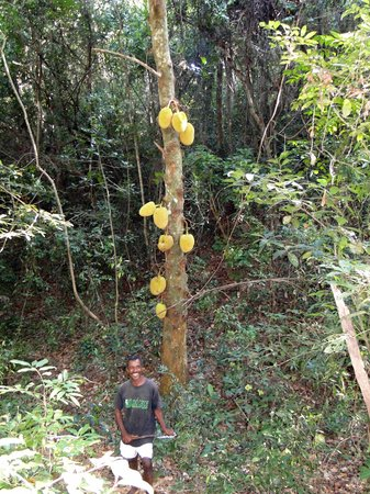 Lokobe Nature Special Reserve: our guide in front of a breadfruit tree