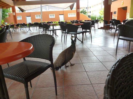 Vista Sol Punta Cana : Pavos en el comedor