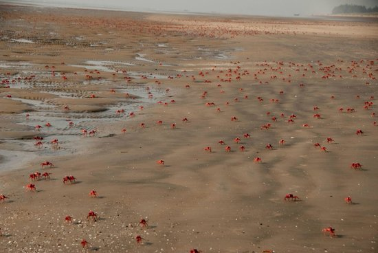 Mandarmani, India: Red crabs