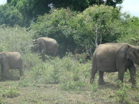 Sunrise Travels - Day Tours: Elephants in udawalawe national park