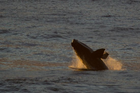 Grootbos Private Nature Reserve: Breaching Whale from De Kelders
