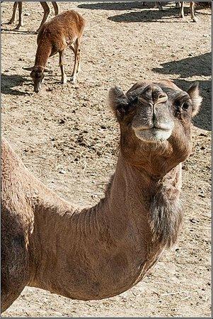 camel: fotografía de Safari Aitana, Peñáguila - TripAdvisor