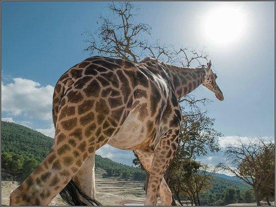 jiraffa: fotografía de Safari Aitana, Peñáguila - TripAdvisor