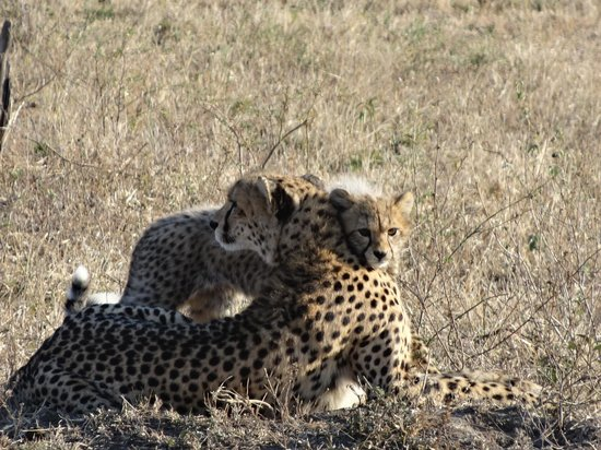 Lukimbi Safari Lodge: Cheetah mom & cub