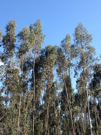 San Jorge Eco-Lodge & Botanical Reserve: Eucalyptus trees