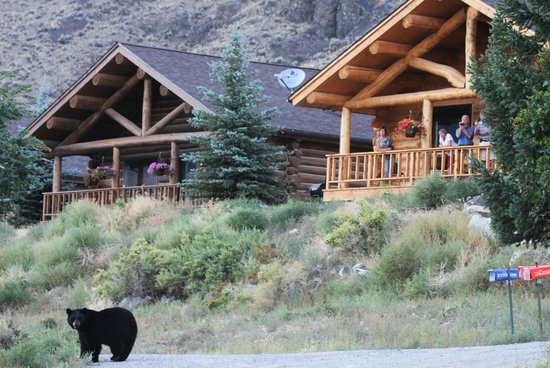 Cowboy's Lodge: black bear walking in front of cabins