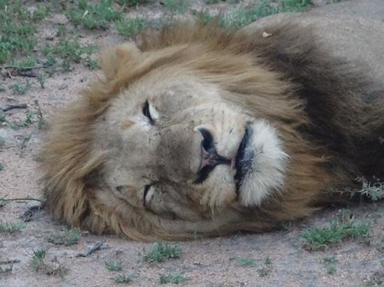Idube Private Game Reserve Lodge: hard life being a Lion!!!